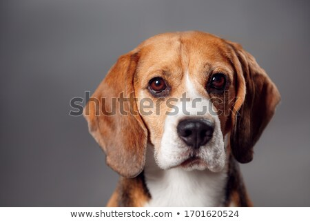 Beagle studio adulte blanche portrait animaux Photo stock © cynoclub