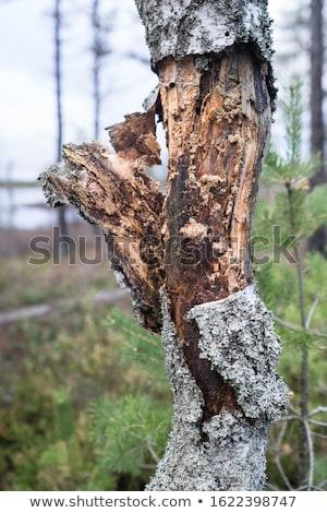 гнилой береза лес деревья Сток-фото © Mps197