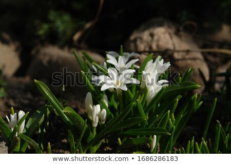 Chionodoxa gigantea Stock photo © Supertrooper
