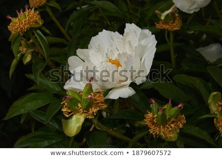 Dernier semences pissenlit vert blanche herbe Photo stock © SergeMat