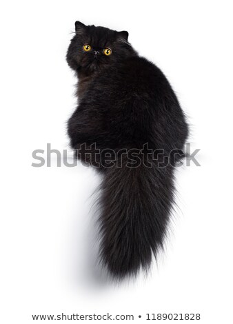 Excellent deep black Persian cat kitten, isolated on a white background  Stock photo © CatchyImages