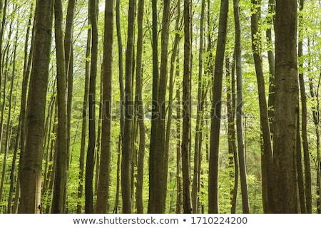 Natural background of green trees of the forest on a sunny summer day. The concept of a healthy envi Stock photo © artjazz