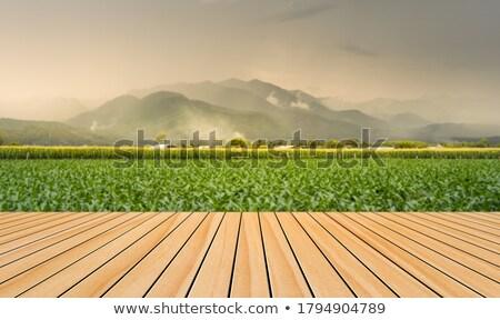 Stock fotó: Faburkolat · kukorica · mező · ültetvény · napfelkelte · textúra