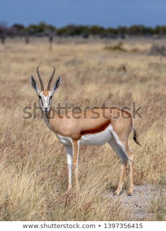 Springbok standing in the high grass. stock photo © simoneeman