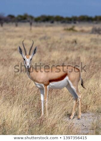 Springbok standing in the high grass. Stock photo © simoneeman