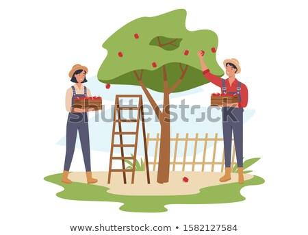 Gazda férfi gyűlés almák fa kosár Stock fotó © robuart