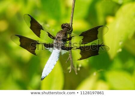 Homme libellule animaux close-up Photo stock © njnightsky