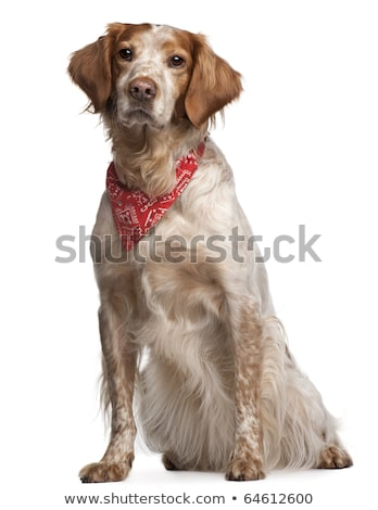 An adorable mixed breed dog wearing red scarf Stock photo © vauvau