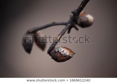 Mag hüvely nyitás bokor Ausztrália száraz Stock fotó © lovleah