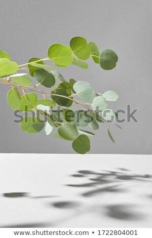 Természetes örökzöld növény ág árnyékok fölött Stock fotó © artjazz
