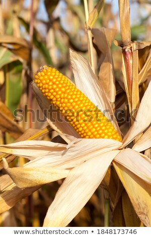 Lost of sweetcorn corn cobs close up. Stock photo © latent