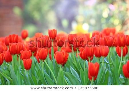 フィールド 赤 チューリップ 花 草 美 ストックフォト © dsmsoft