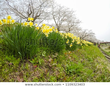 Stock photo: cherry blossom and  Narcissus (plant);  in  Kakunodate