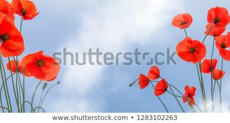 vermelho · papoula · grama · fronteira · vetor · céu - foto stock © hermione