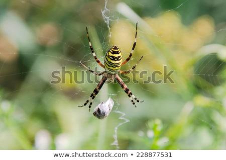 餌食 クモ 自然 食べる マクロ トンボ ストックフォト © manfredxy