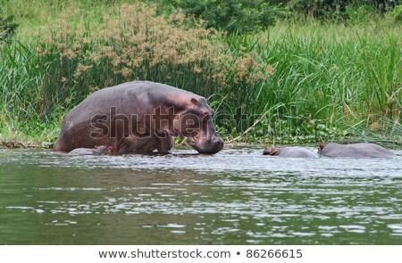 some Hippos waterside in Uganda Stock photo © prill