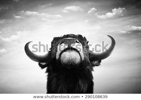 Black and White Bull Grazing Stock photo © rhamm