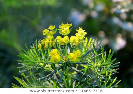cypress spurge  Stock photo © LianeM