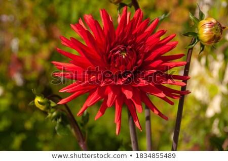 Dahlia bloem natuur blad groene Rood Stockfoto © LianeM