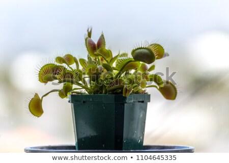 carnivorous plants background Stock photo © jonnysek
