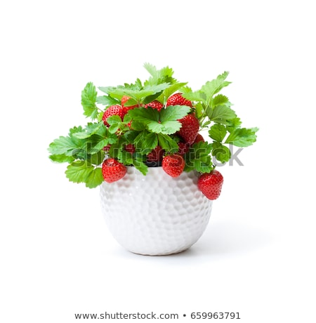 Strawberry plants in pots  Stock photo © Virgin