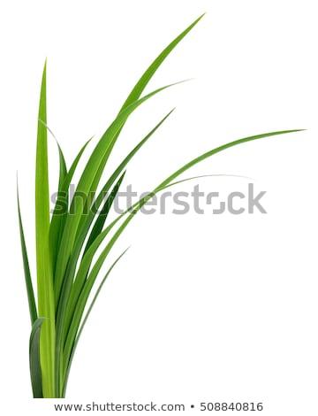 трава изолированный белый зеленая трава избирательный подход Сток-фото © ambientideas