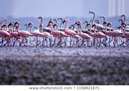 group of pink flamingos near water stock photo © nejron