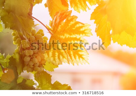 Green wine leaves and sun rays Stock photo © stevanovicigor