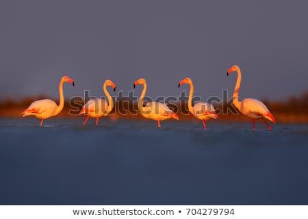 flamingo · Namibya · kuş · su · okyanus · beyaz - stok fotoğraf © dirkr