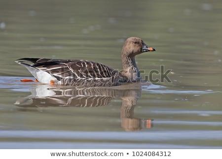 Fasulye kaz yaz kuş hayvan Stok fotoğraf © digoarpi
