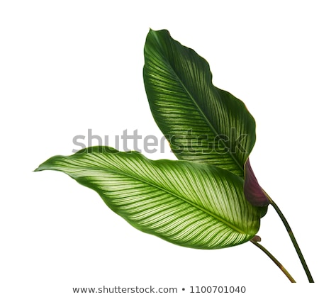 Beautiful plant with leaves of different colors. Stock photo © kyolshin