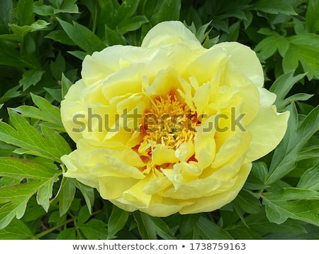 beautiful blooming peony stock photo © peredniankina