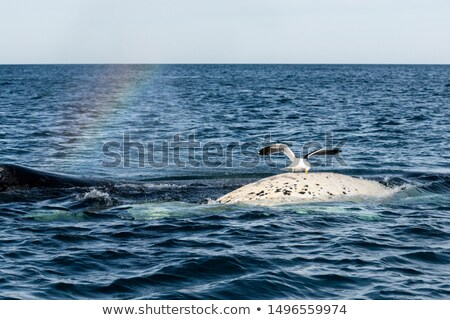 Kelp Gull Stock photo © zambezi