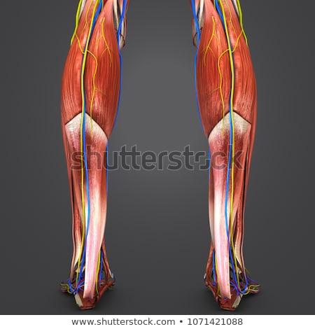 Healthy leg artery Stock photo © Tefi