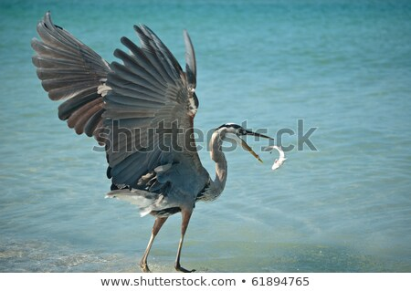great blue heron tossing a fish in the air stock photo © brianguest