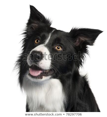 köpek · border · collie · çalışma · saç · portre - stok fotoğraf © avheertum