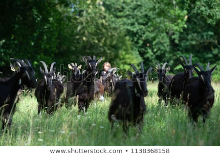 Goats graze on meadow in summer, Gironde Stock photo © FreeProd