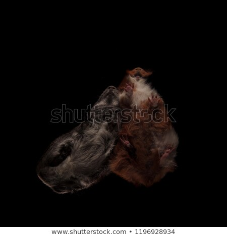 iki · sevimli · Gine · domuzlar · yalıtılmış · beyaz - stok fotoğraf © feedough