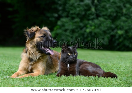 Nacional raza gato hierba pie Foto stock © simazoran