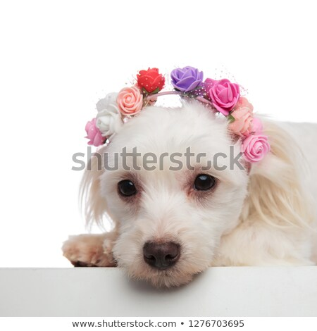 head of cute lying bichon with flowers headband looking down Stock photo © feedough