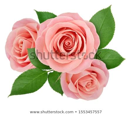 пышный · розовый · роз · деревенский · цветы - Сток-фото © barbaraneveu