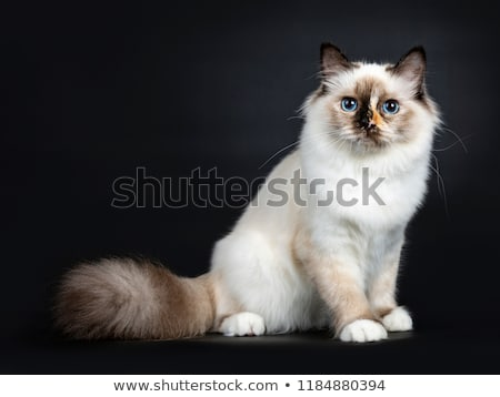 Excellent tortie young Sacred Birman cat kitten isolated on black background  Stock photo © CatchyImages