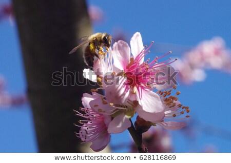 roze · bee · balsem · bloemen · tuin · groene - stockfoto © marylooo