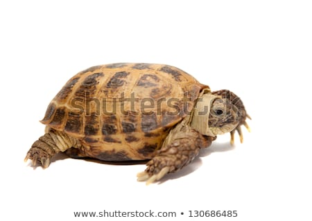 Russian Tortoise on white background Stock photo © CatchyImages