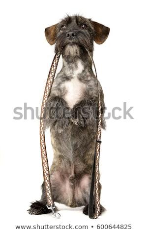 twee · aanbiddelijk · gemengd · ras · hond - stockfoto © vauvau