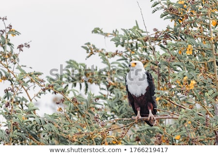 African Fish Eagle Ethiopia Africa wildlife Stock photo © artush