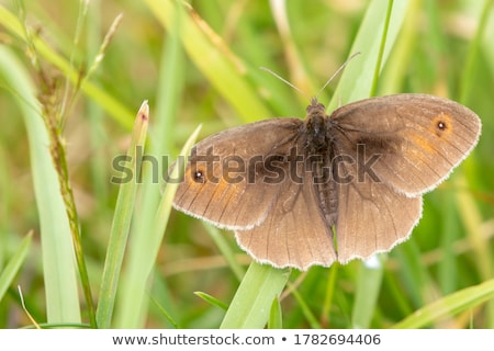 Brown butterfly  Stock photo © AlessandroZocc