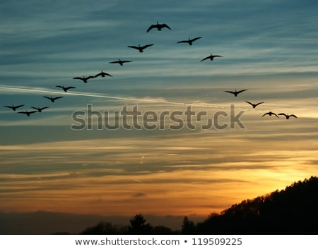 Geese Flying in Formation Stock photo © Gordo25