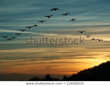 ギース · カナダ · ガチョウ · その他 · 自然 - ストックフォト © gordo25