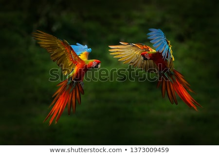red ara bird Stock photo © jonnysek